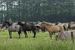 Mustangs and Wild Horses - 2016-0034_Web (berni.radke) Tags: horse pony mustang pferd nordrheinwestfalen colt wildhorse foal fohlen croy herde dlmen feralhorses wildpferdebahn merfelderbruch merfeld przewalskipferd wildpferd dlmenerwildpferd equusferus wildpferdefang dlmenerpferd dlmenpony herzogvoncroy wildhorsetrack