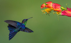 Violet-crowned Woodnymph, (Eric Gofreed) Tags: costarica hummingbird violetcrownedwoodnymph ranchonaturlalista