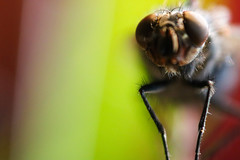 (fra_tsn) Tags: red macro verde green eye insect fly eyes insects occhi rosso occhio mosca