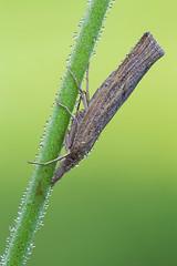 Pediasia contaminella (Cristian Arghius) Tags: macro insect moth naturallight canonmpe65mm focusstack canoneos5dmarkii pediasiacontaminella zerenestacker rrstp243tripod arcaswisscubetripodhead