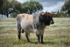 Um toiro belssimo no campo bravo portugus. Sabem qual a ganadaria a que pertence? #natureza #ecologia #biodiversidade #touradas (Protoiro) Tags: toros bullfight tauromaquia touradas protoiro