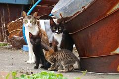 Family.Stray cats.JAPAN. Meg Oshima.  (meguringo) Tags: family cats white black beautiful japan chat tiger kittens tuxedo gato stray feral alleycats cc100