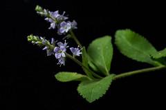 Veronica Officinalis (Samantha Forsberg) Tags: flower floral flora newengland veronica wildflower speedwell