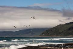 Seagulls (San Francisco Gal) Tags: california sea cloud bird beach rock fog river coast sand surf seagull wave estuary hills pacificocean lostcoast mattole