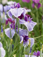Standing Iris (H.H. Mahal Alysheba) Tags: iris flower macro japan canon garden lumix tokyo purple kipon gx7 ef100mm28l efmft