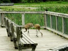 Sandhill Cranes (Photos by the Swamper) Tags: birds cranes sandhillcranes