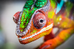 Panther Chameleon (cynic_images) Tags: chameleon cincinatti colorful kentucky macro newport newportaquarium pantherchameleon reptile