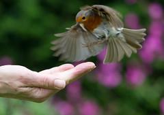 Final Approach (Mukumbura) Tags: robin flying flight hand food trust bird nature britain robinredbreast erithacusrubecula beauty feeding wings feathers approaching fingers oiseaux aves
