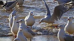 Chroicocephalus novaehollandiae_1 (Tony Markham) Tags: bird waves seagull gull northbeach seabird wollongong illawarra northwollongong silvergull chroicocephalusnovaehollandiae
