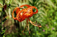 Devil Lily (Jim Atkins Sr) Tags: flower lily sony tigerlily lilium tryonpalace liliumlancifolium devillily sonya58 dottylergardens