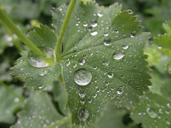 droplets on Alchemilla mollis leaf (catherine329) Tags: summer plant leaves garden leaf urbangarden herbaceous alchemillamollis ladysmantle backgardengallery