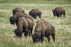Bison grazing in Grand Teton National Park (HDRob) Tags: bisongrazing bison grazing grandtetonnationalpark grandteton grandtetons wildife