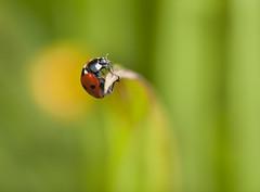 Acrobatic Ladybird (kevinwolves) Tags: ladybird 7spotladybird insect kevinwolves nature wildlife nikon nikond300 nikkor105mmf4 closeup macro
