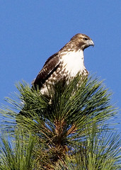 Red-tailed Hawk B098768focPr (jvpowell) Tags: mexico bajacalifornia redtailedhawk parquenacionalsierradesanpedromartir