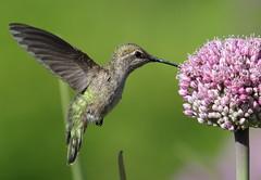 Anna's Hummingbird (Eric_Z) Tags: annashummingbird calypteanna coquitlam bc canada