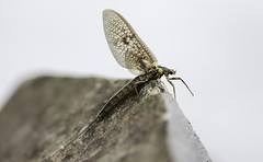 E. Vulgata III (snusmumrik-1) Tags: macro nature flyfishing dun mayfly fluefiske dgnflue