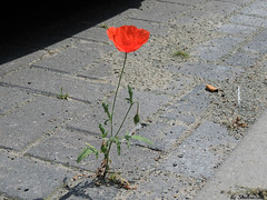 Urban survivor EXPLORED! (Shahrazad26) Tags: poppy klaproos flower bloem fleur blme rood red rot rouge straat trottoir street straattegels