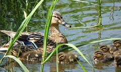 Mallard (Peanut1371) Tags: brown water reeds ducks ducklings mallard nationalgeographicwildlife