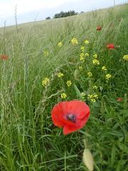 blossom (Brian Cairns) Tags: saintandrews cambo fifecoastalpath kingsbarns brianbcairns therockandspindle buddoroack