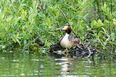 Home sweet home (ralfkai41) Tags: greatcrestedgrebe brutpflege water nature animals brten breeding vogel wasser birds nest outdoor lake natur haubentaucher tiere