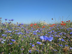 Blumenmeer (conticium) Tags: field feld meadow blumen poppy marguerite greenfield grassland cornflower kornblume acker klatschmohn margeriten blumenmeer pltzin magerwiesenmargerite