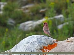 Great Rosefinch (Carpodacus rubicilla) (gilgit2) Tags: pakistan birds fauna canon geotagged wings wildlife feathers tags location species tamron category avifauna shandur ghizer carpodacusrubicilla gilgitbaltistan imranshah canoneos7dmarkii tamronsp150600mmf563divcusd gilgit2 greatrosefinchcarpodacusrubicilla