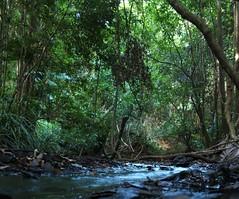 Flump_1229 (SEQ Catchments) Tags: rainforest subtropical lowland