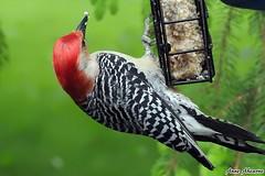 Red-bellied Woodpecker (Male) (--Anne--) Tags: bird nature birds woodpecker colorful wildlife birdfeeder redbelliedwoodpecker woodpeckers suet naturephotography beautifulbird