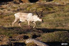 Mountain-Caribou (Corey Hayes) Tags: caribou coreyhayes highlands wild deer large evening tundra animal nature canada icon