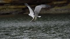 _4SJ8452-r5 (4mpx) Tags: sydney seaeagle australianbird brokenbay nikond4s tamron150600mm