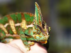 Yemen chameleon (Ondrej V.) Tags: nature animal reptile chameleon yemenchameleon chamaeleocalyptratus