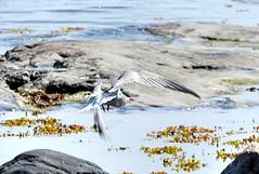 "Tern ""Art"" II (KaarinaT) Tags: blue sea seaweed art water finland helsinki rocks flight tern ternart"