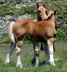P1000226 (Franois Magne) Tags: cheval libert poulain jument blond blonde bai frange montagne etang lanoux estany de lanos lac pyrnes