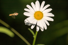 IMG_1951 (Roger_Petersson) Tags: blomma bi