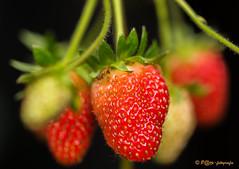 Aardbeien (www.petje-fotografie.nl) Tags: macro geel rood bloesem bloemen aardbeien bloemenineigentuin