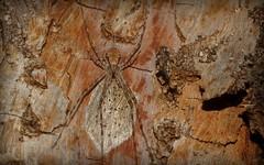 Tamopsis guard (dustaway) Tags: artthropoda arachnida araneae araneomorphae hersiliidae tamopsis ootheca longspinneretbarkspider tullera tullerapark tallowwoodbark northernrivers nsw australia australianspiders nature spinne