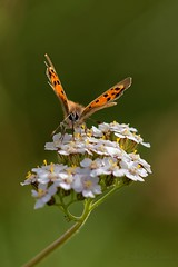 Lycaena phlaeas - Cuivr commun (Sbastien Vermande) Tags: autumn france flower macro fleur automne butterfly insect bokeh lot papillon mariposa farfalla macrolens macrophotography midipyrnes macrophotographie insectmacro canon7d sigmaapoteleconverter14xexdg vermande sigma150mm28exdg