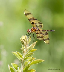 Halloween Pennant female (sbuckinghamnj) Tags: newjersey dragonfly pequannock halloweenpennant mountainsidepark