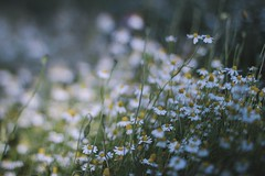 summer (explore) (evahgrf) Tags: summer flower flowers camomile meadow field grass grasses plant plants outside nature germany canon 500d 14 freelensing focus evahgrf adventure explore sun