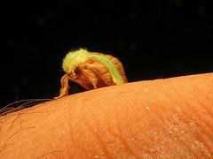 Smaller Parasa (magarell) Tags: insect moth nj middlesexcounty parasachloris smallerparasa
