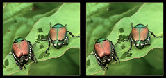 The Awkward 3rd Wheel - Crosseye 3D (DarkOnus) Tags: macro wheel closeup insect japanese stereogram 3d crosseye day phone pennsylvania cell stereo mating beetles japonica stereography 3rd buckscounty hump huawei crossview popillia ihd hihd mate8 insecthumpday darkonus