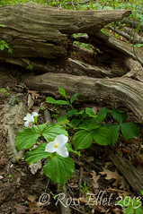 Trillium and The Cracked Log (rellet17) Tags: flowers trees ohio green forest trillium spring woods may