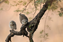 ADS_0000024290 (dickysingh) Tags: wild india color bird nature animal forest eyes wildlife jungle owl stare predator alert spottedowlet athenebrama ranthambhorenationalpark smallowl wwwranthambhorecom