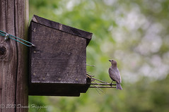 Standing Guard (MissTessmacher) Tags: bird animal nikon box nesting d90 millgrove 70200f28vrii
