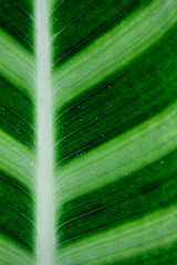 Diagonal no 7834 (Bloui) Tags: macro green lines march leaf diagonal botanicalgarden serres jardinbotanique 60mmmacro 2013 rebelxti