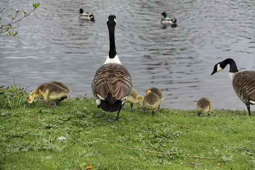 Pair of Canada Geese with 7 Goslings (16)
