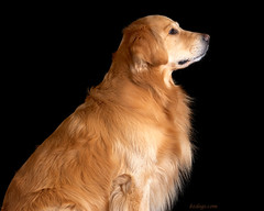 Profile of a Dog (bztraining) Tags: zachary 113