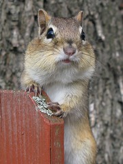 Petit suisse -- Little chipmunk (Gilles Gonthier) Tags: canada nature animal mammal rodent chipmunk qubec rodentia mammifre tamia tamiasstriatus sciuridae rongeur easternchipmunk petitsuisse canonpowershotg7 tamiaray gillesgonthier 052013 ggg7154502013