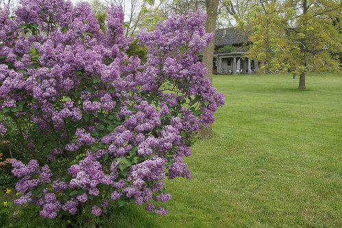 Lilacs At Linwood