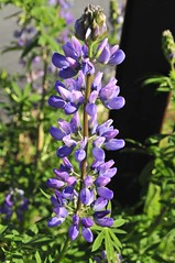 Lupins On Whidbey (Photoz Darkly) Tags: bluebonnets lupins flowrs